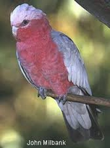 cockatoo (Copy).jpg