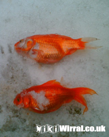 Attached picture dead goldfish.jpg