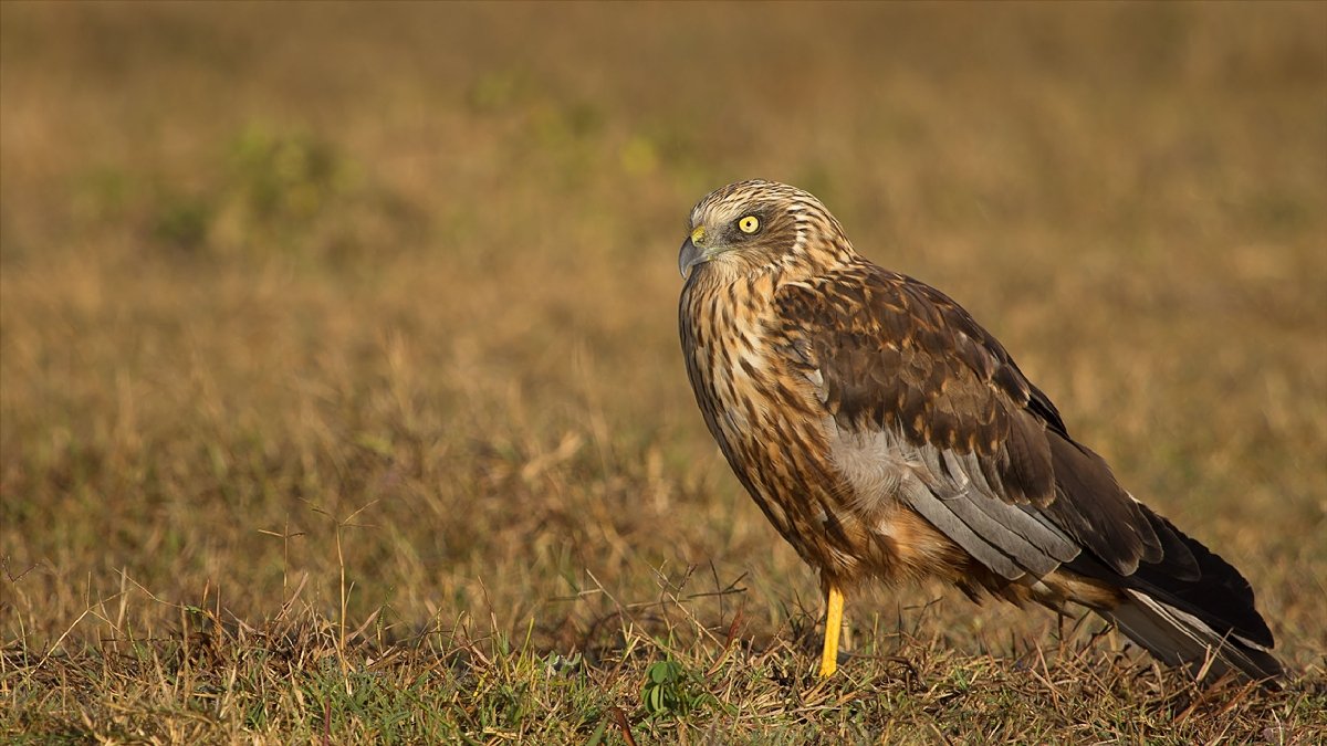 Marsh_Harrier_Male.jpg