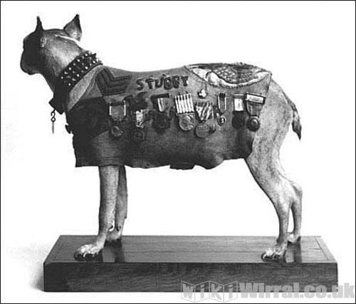 sergeant-stubby-pit-bull.jpg