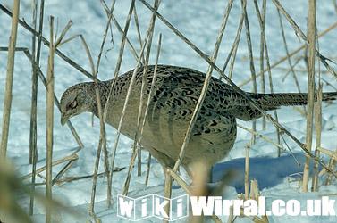 Ring-necked-hen-pheasant-13969.jpg