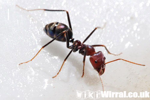 Attached picture bert the ant.jpg