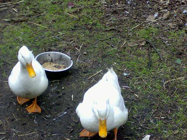 Ducks_small.jpg
