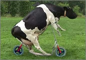 funny_cow_bike.jpg