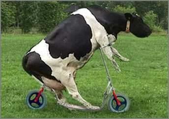 funny_cow_bike.jpg